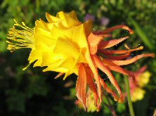 Aquilegia: Red and yellow double