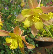 Long spurred aquilegia 1469 pink & yellow at Touchwood