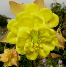 Aquilegia: Blushed yellow double