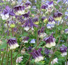 Aquilegia 686 purple & white double at Touchwood National Collection