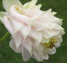 Aquilegia: Hint of a tint of pink, full double