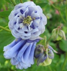 Aquilegia: Tall light blue double