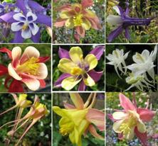 Touchwood Aquilegia Long-Spurred Mix