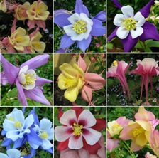 Aquilegia State Series at Touchwood