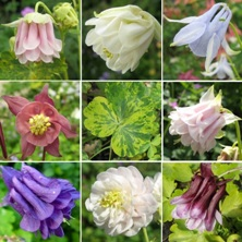 Aquilegia Touchwood gold mix includes variegated leaved ones.